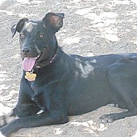 Flat-Coated Retriever/Labrador Retriever Mix Dog for adoption in Las Cruces, New Mexico - Jackie