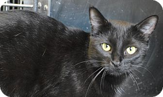 Domestic Mediumhair Cat for adoption in South Haven, Michigan - Stanley