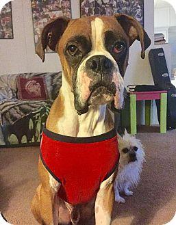 Boxer Mix Dog for adoption in Santa Ana, California - Charlie
