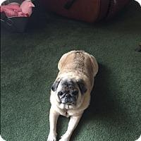 Adopt A Pet :: Princess White Paw - Fort Myers, FL