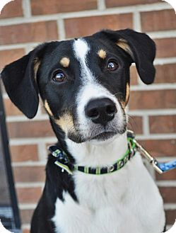 German Shepherd Dog Mix Puppy for adoption in Gretna, Nebraska - Chevy *Pre-Teen*