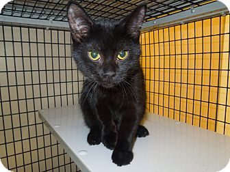 Domestic Shorthair Cat for adoption in Medina, Ohio - Rex