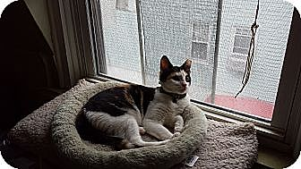Calico Cat for adoption in Little Falls, New Jersey - Nina (MP)