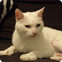 Adopt A Pet :: Mer (aka Mittens) - Acushnet, MA