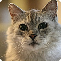 Adopt A Pet :: Cloudy Girl - Columbia, MD