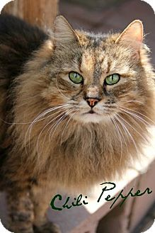 Domestic Longhair Cat for adoption in Centerton, Arkansas - Chili Pepper