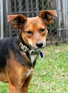Terrier (Unknown Type, Medium)/Rat Terrier Mix Dog for adoption in Lithia, Florida - DAISY-14 Dania Beach Fl