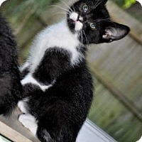 Adopt A Pet :: Cool cat SAM (white mustache;) - New Smyrna Beach, FL