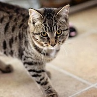 Domestic Shorthair Cat for adoption in Markham, Ontario - Wally