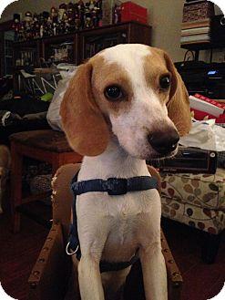 Beagle Puppy for adoption in Norfolk, Virginia - Biscuit