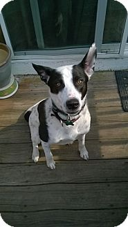 Cattle Dog/Border Collie Mix Dog for adoption in Aurora, Illinois - Buster