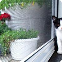 Adopt A Pet :: Domino - Lebanon, PA