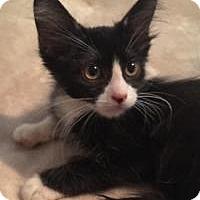 Domestic Mediumhair Kitten for adoption in Kingwood, Texas - Reno