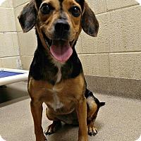 Adopt A Pet :: 1-8 Daisy - Triadelphia, WV
