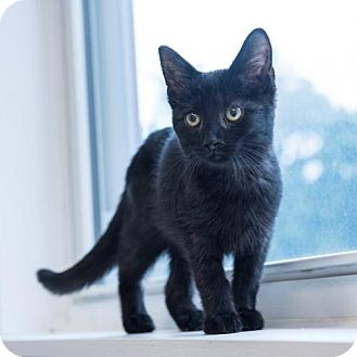 Domestic Shorthair Kitten for adoption in St. Paul, Minnesota - Daphne