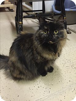 Domestic Longhair Cat for adoption in Blasdell, New York - Maeve