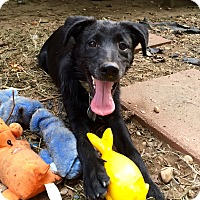 Labrador Retriever/Blue Heeler Mix Puppy for adoption in Wilmington, Delaware - Cailee
