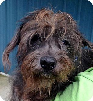 Scottie, Scottish Terrier Mix Dog for adoption in West Columbia, South Carolina - Ainsley