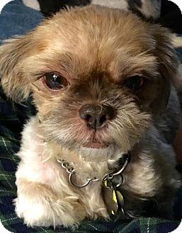 Shih Tzu Dog for adoption in Euless, Texas - Sundance Kid II