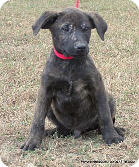 Mastiff/Labrador Retriever Mix Puppy for adoption in Waterbury, Connecticut - BO/ADOPTED