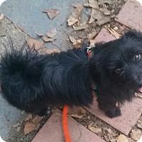 Adopt A Pet :: Poncho - Bardonia, NY