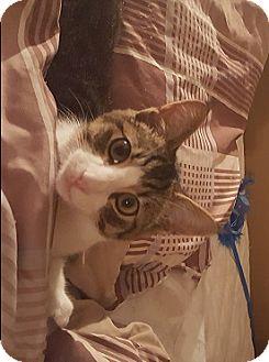 Domestic Shorthair Cat for adoption in Cambridge, Ontario - Dobbie