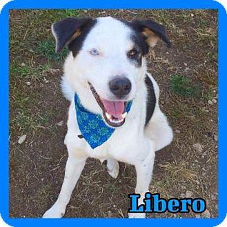 Siberian Husky/Labrador Retriever Mix Dog for adoption in Jasper, Indiana - Libero