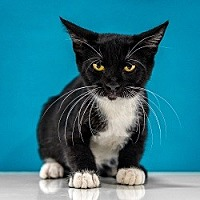 Domestic Shorthair Kitten for adoption in Chandler, Arizona - Waylon