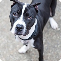 American Staffordshire Terrier Mix Dog for adoption in Sacramento, California - Colbie