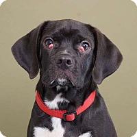 Adopt A Pet :: Shotgun - Sudbury, MA
