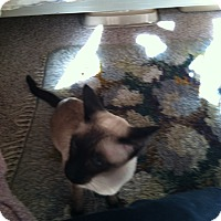 Siamese Cat for adoption in Laguna Woods, California - Missy