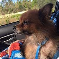 Adopt A Pet :: Sassy - New Smyrna Beach, FL