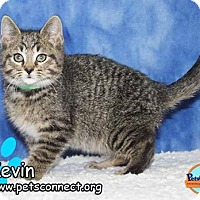 Adopt A Pet :: Kevin - South Bend, IN