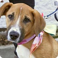 Adopt A Pet :: Pup Dodger - Rockville, MD