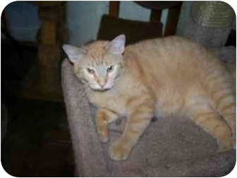 Domestic Shorthair Cat for adoption in Chattanooga, Tennessee - Sunshine