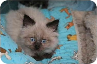Himalayan Kitten for adoption in Cincinnati, Ohio - Zeus