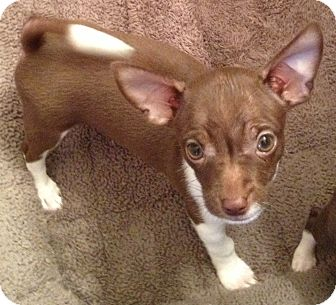 Chihuahua Puppy for adoption in Orlando, Florida - Chispy#3M