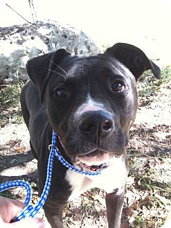Pit Bull Terrier Dog for adoption in Spring Branch, Texas - Scarlet