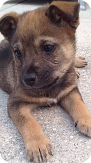 Shepherd (Unknown Type) Mix Puppy for adoption in Orlando, Florida - Stagger