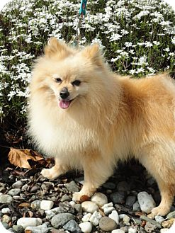 Pomeranian Dog for adoption in Santa Rosa, California - Bambi