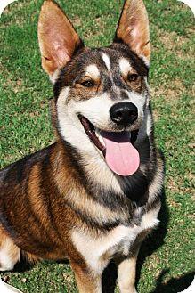 Husky/Siberian Husky Mix Dog for adoption in Houston, Texas - Elvis