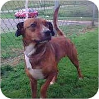 Adopt A Pet :: # 12 Beagle/Hound Mix URGENT! - Carrollton, OH