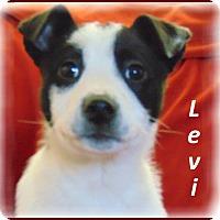 Adopt A Pet :: Levi- Adoption Pending - Marlborough, MA