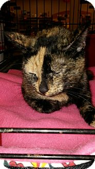 Domestic Shorthair Cat for adoption in Warrenton, Missouri - Teresa