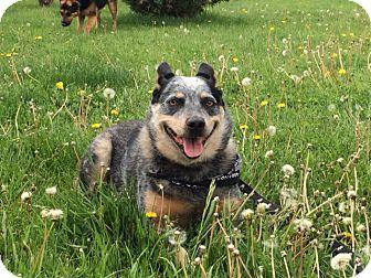 Australian Cattle Dog Mix Dog for adoption in Buffalo, Wyoming - Zoey