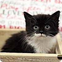 Adopt A Pet :: Mocha Muffin - Fairfax Station, VA