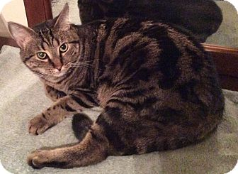 Domestic Shorthair Cat for adoption in Smithfield, North Carolina - Clyde