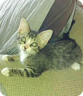 Domestic Shorthair Kitten for adoption in Leonardtown, Maryland - Markie