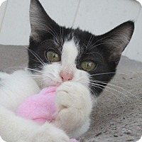 Domestic Shorthair Kitten for adoption in Germantown, Maryland - Francesca