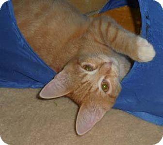 Domestic Shorthair Kitten for adoption in Merrifield, Virginia - Tyler